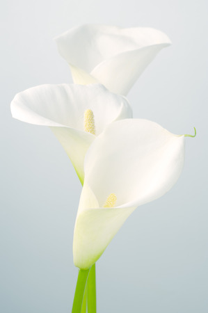 Bouquet of calla lilies on light background. Stock Photo