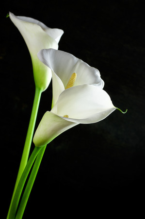 Bouquet of calla lilies on black background.  Stock Photo