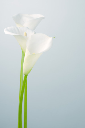 Bouquet of calla lilies on light background. Imagens