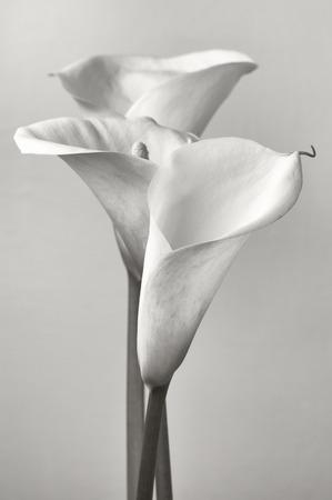 Bouquet of calla lilies. Monochrome image. photo