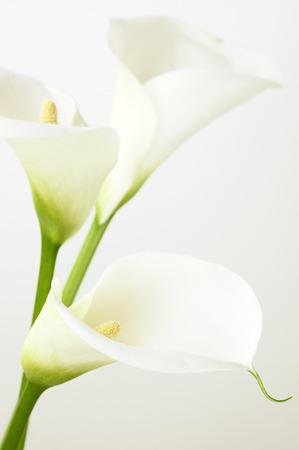 Calla lilies close-up. Shallow DOF. photo
