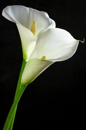 Calla lilies on black background. Stockfoto