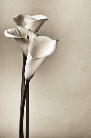 Bouquet of calla lilies. Monochrome image, film stylized, grained.