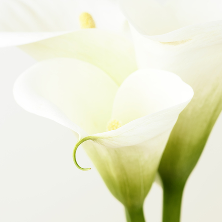 Calla lilies close-up. Shallow DOF. photo