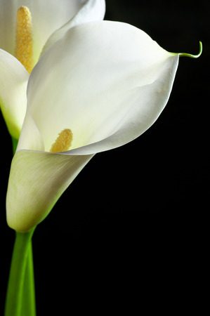 Calla lilies close-up on black background. photo