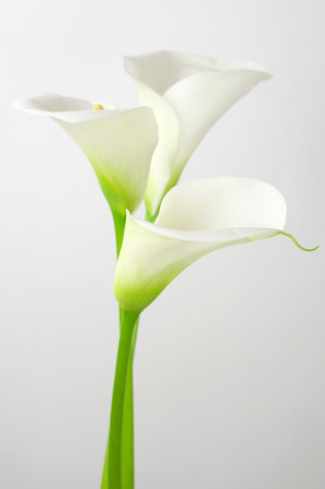 Bouquet of calla lilies on light . Stock Photo