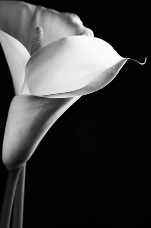 Calla lilies close-up on black photo
