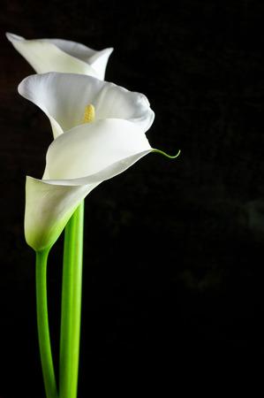 黒の背景にオランダカイウユリの花束。 写真素材