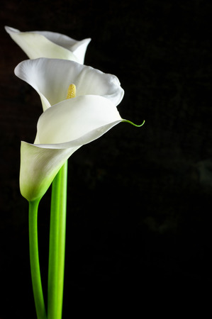 Bouquet of calla lilies on black background.  Stok Fotoğraf