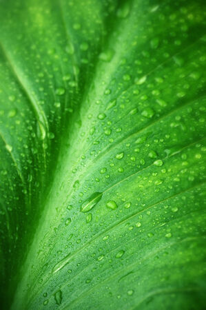 Green leaf with water drops close-up as background. photo