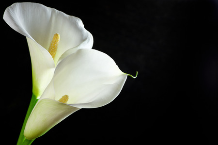 Calla lilies on black background. Stock Photo