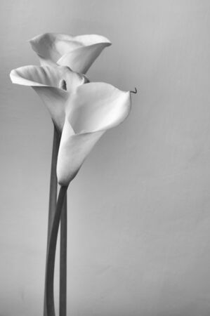Bouquet of calla lilies. Monochrome image. photo