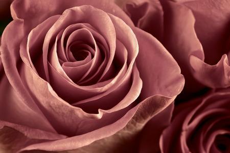 マルサラの束の色の背景としてばら色の花のクローズ アップ。ソフト フォーカス、浅い。フィルターされたイメージ。