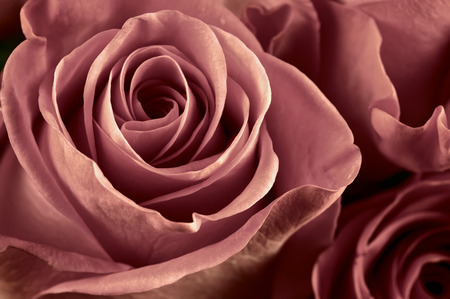 nature wallpaper: Bunch of marsala colored rose flowers close-up as background. Soft focus, shallow DOF. Filtered image.