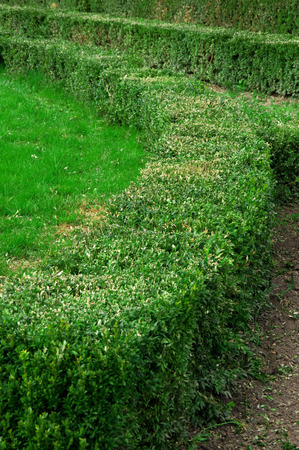 trimmed: Green trimmed hedge with lawn in spring park. Shallow DOF. Stock Photo