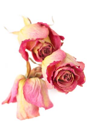 Three dried pink roses close-up isolated on white background. Shallow DOF, focus on front rose. photo