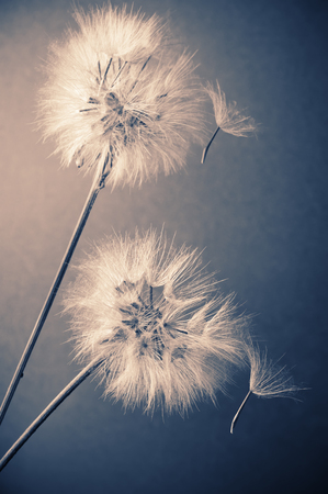 Two dandelions (goatsbeard) with flown off seeds on blue background. Toned image. Shallow DOF, focus on front flower and seed.