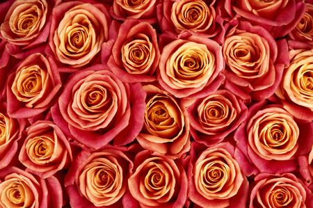 bicolored: Bunch of red and yellow bicolored rose flowers close-up as background. Stock Photo