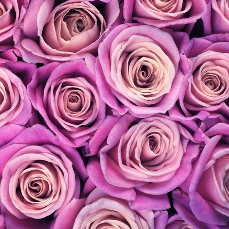 Bunch of purple colored rose flowers close-up as background. Filtered image.