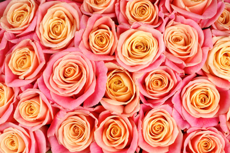 bicolored: Bunch of pink and yellow bicolored rose flowers close-up as background.