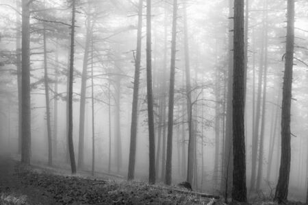 Magic foggy pine forest with parallel trees. Monochrome black and white image. Soft focus.