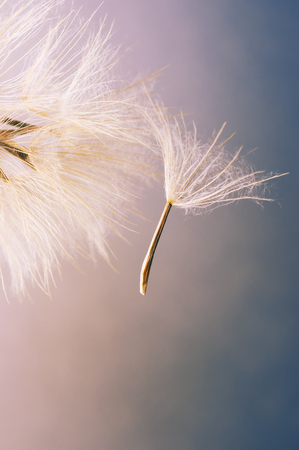 colorize: Close-up of dandelion (goatsbeard) with flown off seed. Toned image. Shallow DOF. Stock Photo