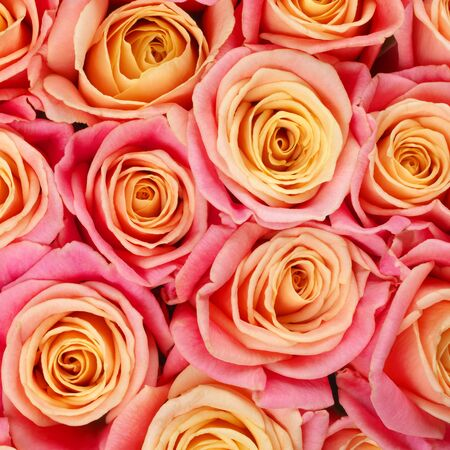 Bunch of pink and yellow bicolored rose flowers close-up as background.