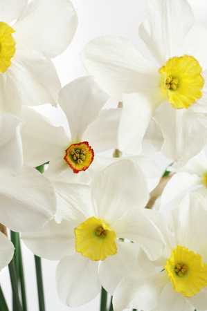 jonquil: Bouquet of white narcissus close-up. Stock Photo