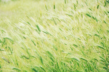 Green foxtail barley ears texture. Grass background. Shallow DOF, soft focus, blurred backdrop. Toned filtered image.