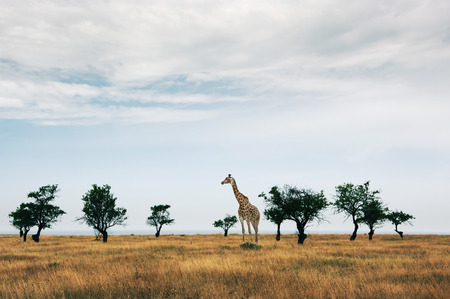 Sparse trees in dried prairie and giraffe against cloudy sky. Stock Photo