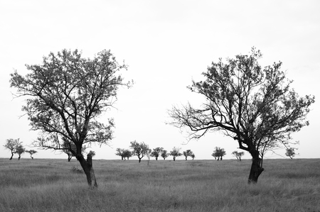 Sparse trees in dried prairie. Black and white image.