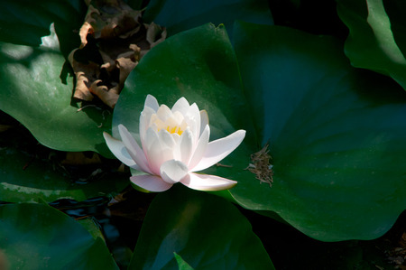 White waterlily in green leaves at sunny day.