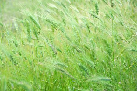 Green foxtail barley ears texture. Grass background. Shallow DOF, soft focus, blurred backdrop. Imagens