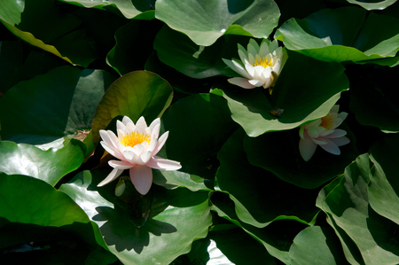 White waterlilies in green leaves at sunny day.