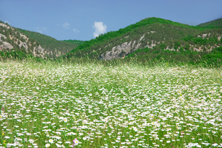 Spring meadow with blooming chamomiles against hills at sunny day. Stock Photo