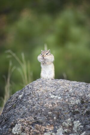 Chipmunks are small, striped rodents of the family squirrel.