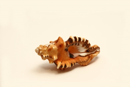 seashell Stock Photo - 18455873