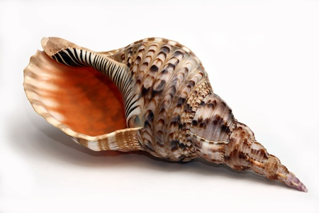 seashell Stock Photo - 18455870