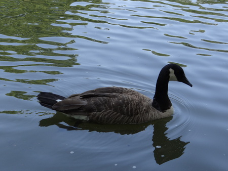 Canadian Goose swimming in pond