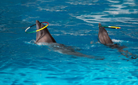 Dolphins with colored hoop Stock Photo