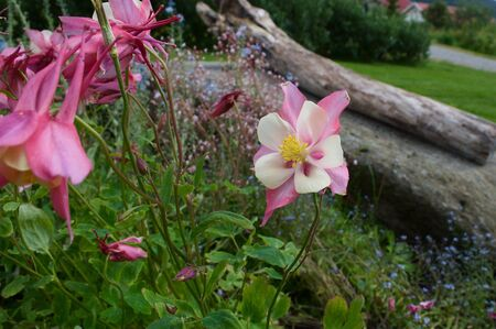 floridity: Pink aquilegia Stock Photo