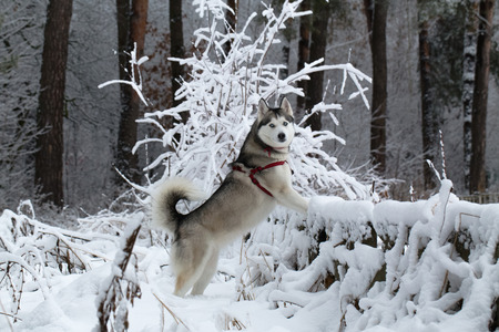 husky: Siberian Husky winter. Siberian Husky frolics in the fresh snow. Siberian Husky stands having rested its front paws on the fence. Stock Photo