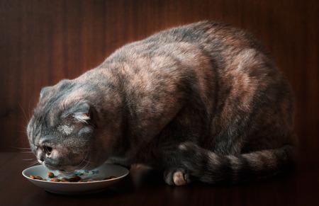 housepet: Scottish Fold cat eats cat food on a saucer. Stock Photo