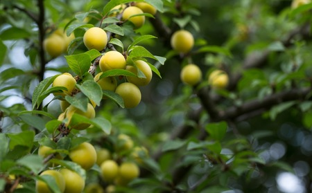alycha: Cherry plum in fruit orchard. Yellow berries ripen on the branches of a fruit tree. Stock Photo