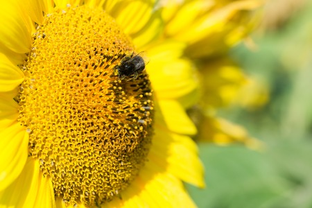 nectar: Bee collects nectar and pollinates sunflower. Closeup.