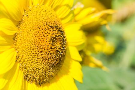 sunflower seeds: The head of sunflower close up. Macro shooting