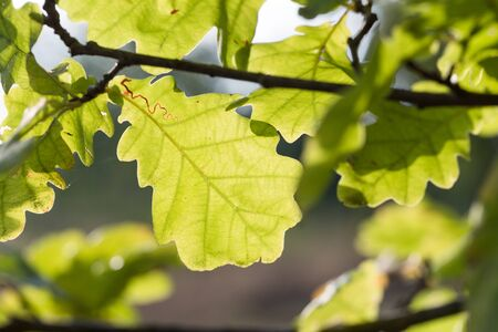 sways: Oak leaves illuminated by the sun and stagger from wind in the wild. Stock Photo