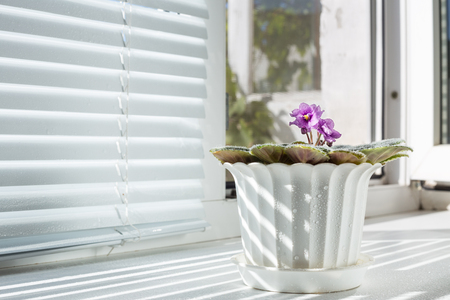 window sill: Flower after watering water. Houseplant stands on window sill. Flower belongs to the family of violets.