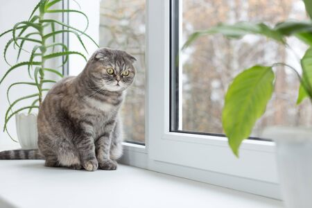 look through window: Cat sits on the windowsill and looks out the window. Autumn weather outside. Cat belongs to the breed Scottish Fold.