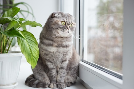 Cat sits on the windowsill and looks out the window. Cat belongs to the breed Scottish Fold. Stock Photo